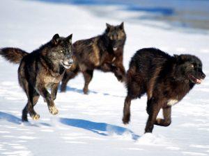 wolves hunt