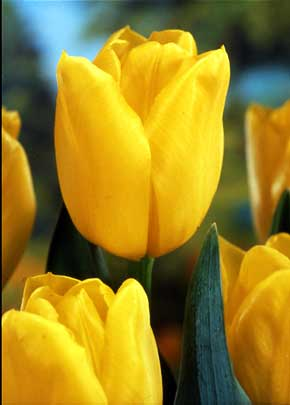 Yellow Tulip Meaning General Information