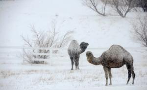 Camel Blizzard