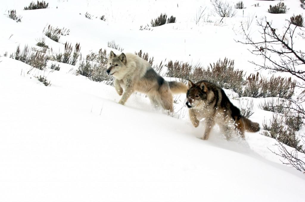 Pack Of Grey Wolves Running Through Deep Snow Wall Mural