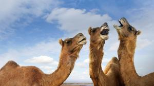 camels picketing